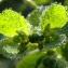 Marie-France PACAUD - Euphorbia helioscopia L. [1753]