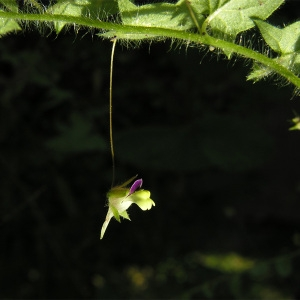 Kickxia elatine (L.) Dumort. subsp. elatine (Linaire élatine)