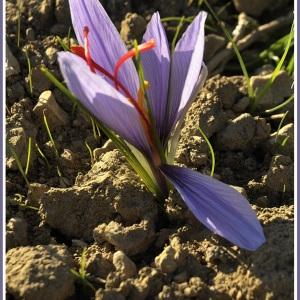 Photographie n°47823 du taxon Crocus sativus L.