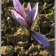 Gérard CalbÉrac - Crocus sativus L.