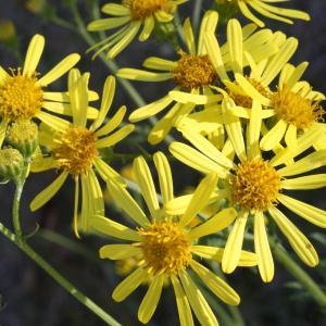 Photographie n°47835 du taxon Senecio erucifolius L.