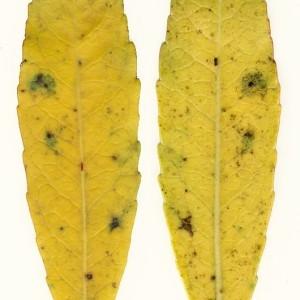 Photographie n°47975 du taxon Arbutus unedo L. [1753]