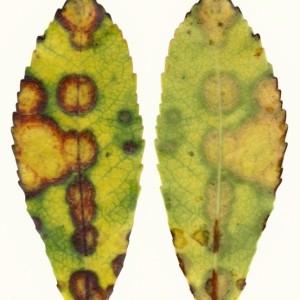 Photographie n°47976 du taxon Arbutus unedo L. [1753]