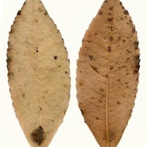 Photographie n°47977 du taxon Arbutus unedo L. [1753]