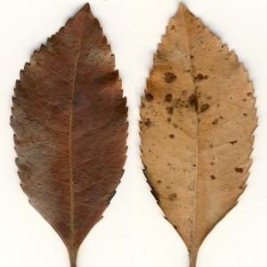 Photographie n°47978 du taxon Arbutus unedo L. [1753]