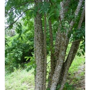 Zanthoxylum caribaeum Lam. (Bwa chandèl blan)
