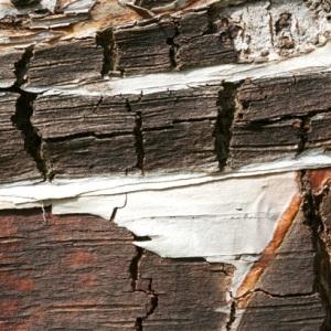 Betula papyrifera Marshall (Bouleau à canots)