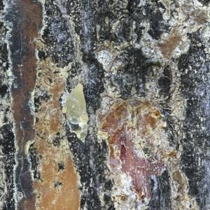 Photographie n°48082 du taxon Pinus halepensis Mill. [1768]