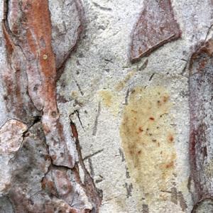 Photographie n°48086 du taxon Pinus nigra subsp. nigra