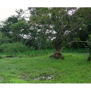 Annona glabra L. (Alligator apple)