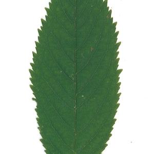 Photographie n°48108 du taxon Prunus avium (L.) L. [1755]