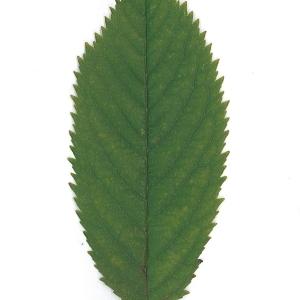 Photographie n°48109 du taxon Prunus avium (L.) L. [1755]
