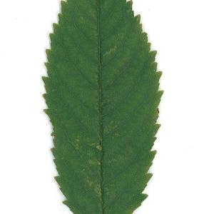 Photographie n°48111 du taxon Prunus avium (L.) L. [1755]