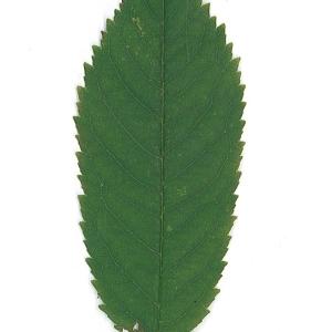 Photographie n°48112 du taxon Prunus avium (L.) L. [1755]