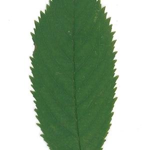 Photographie n°48113 du taxon Prunus avium (L.) L. [1755]