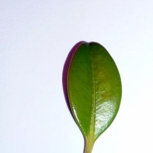 Photographie n°48146 du taxon Buxus sempervirens L. [1753]