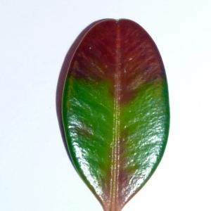 Photographie n°48148 du taxon Buxus sempervirens L. [1753]