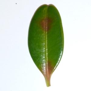 Photographie n°48149 du taxon Buxus sempervirens L.
