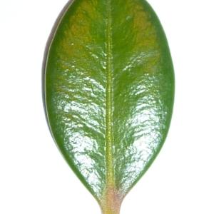 Photographie n°48150 du taxon Buxus sempervirens L. [1753]