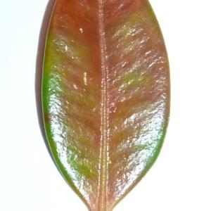 Photographie n°48151 du taxon Buxus sempervirens L. [1753]