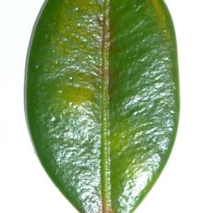 Photographie n°48152 du taxon Buxus sempervirens L. [1753]