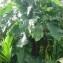 Genevieve Botti - Philodendron giganteum Schott