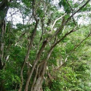 Photographie n°48162 du taxon Pterocarpus officinalis Jacq.