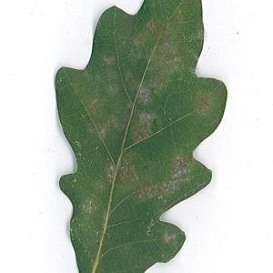 Photographie n°48163 du taxon Quercus robur L. [1753]