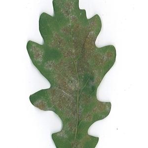 Photographie n°48164 du taxon Quercus robur L. [1753]