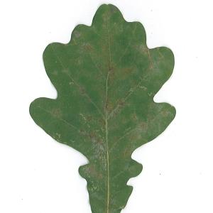 Photographie n°48168 du taxon Quercus robur L. [1753]