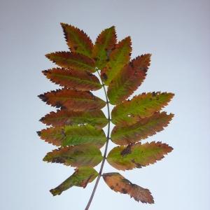 Photographie n°48251 du taxon Sorbus aucuparia L.