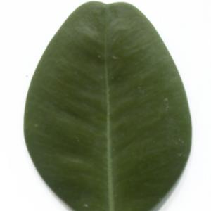 Photographie n°48296 du taxon Buxus sempervirens L. [1753]