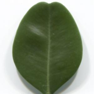 Photographie n°48297 du taxon Buxus sempervirens L. [1753]