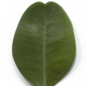 Photographie n°48298 du taxon Buxus sempervirens L. [1753]