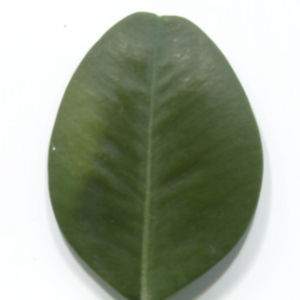 Photographie n°48299 du taxon Buxus sempervirens L.
