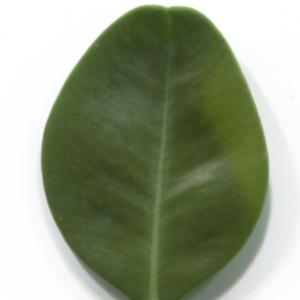 Photographie n°48300 du taxon Buxus sempervirens L. [1753]