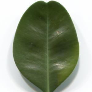Photographie n°48301 du taxon Buxus sempervirens L. [1753]