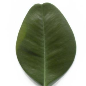 Photographie n°48302 du taxon Buxus sempervirens L. [1753]