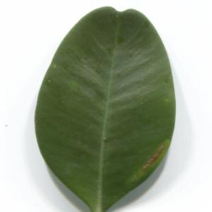 Photographie n°48303 du taxon Buxus sempervirens L. [1753]