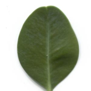 Photographie n°48304 du taxon Buxus sempervirens L. [1753]