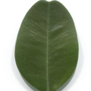Photographie n°48305 du taxon Buxus sempervirens L.