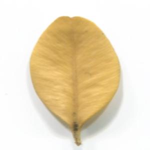 Photographie n°48306 du taxon Buxus sempervirens L. [1753]