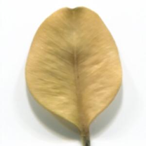 Photographie n°48307 du taxon Buxus sempervirens L. [1753]