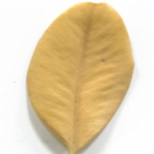 Photographie n°48308 du taxon Buxus sempervirens L.