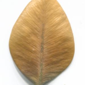 Photographie n°48309 du taxon Buxus sempervirens L. [1753]