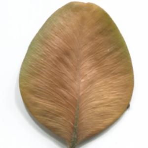 Photographie n°48311 du taxon Buxus sempervirens L.