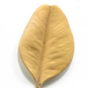 Photographie n°48312 du taxon Buxus sempervirens L.
