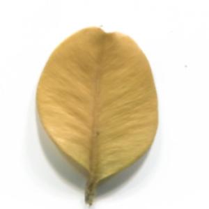 Photographie n°48314 du taxon Buxus sempervirens L. [1753]