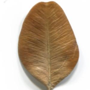 Photographie n°48315 du taxon Buxus sempervirens L. [1753]