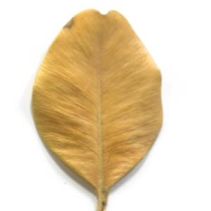 Photographie n°48317 du taxon Buxus sempervirens L.